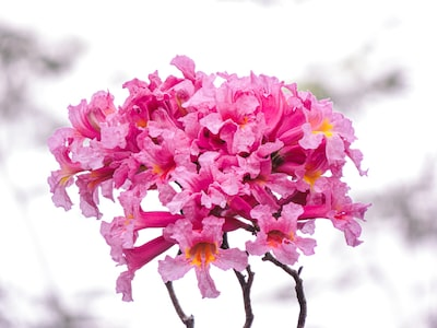 pink flowers on brown tree branch paraguay zoom background