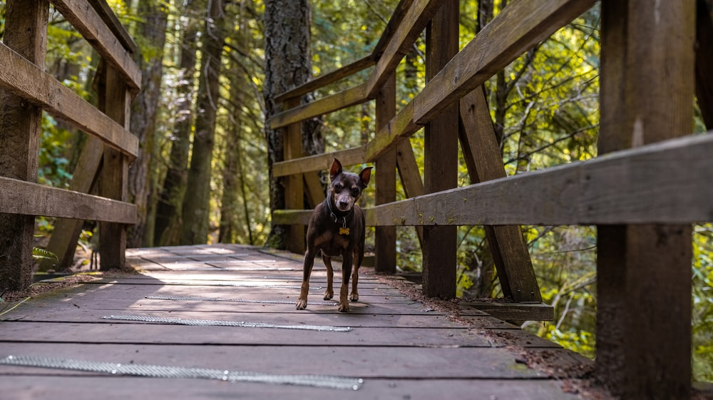 black and brown short coated dog on brown wooden bridge