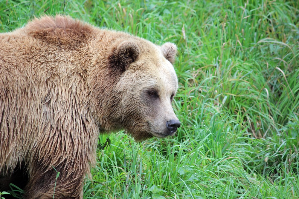 brown bear on green grass during daytime