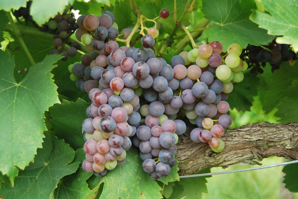 purple grapes on brown wooden table