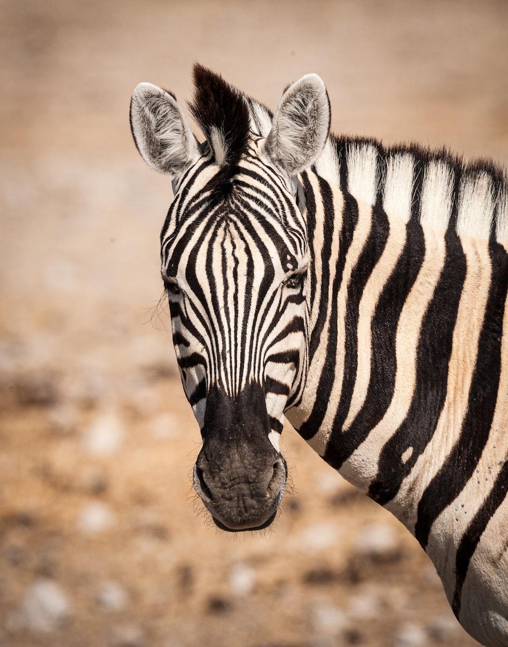 zebra in brown field during daytime