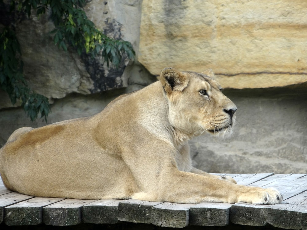 brown lioness lying on gray rock during daytime