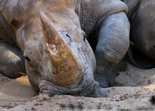 gray rhinoceros on brown sand during daytime