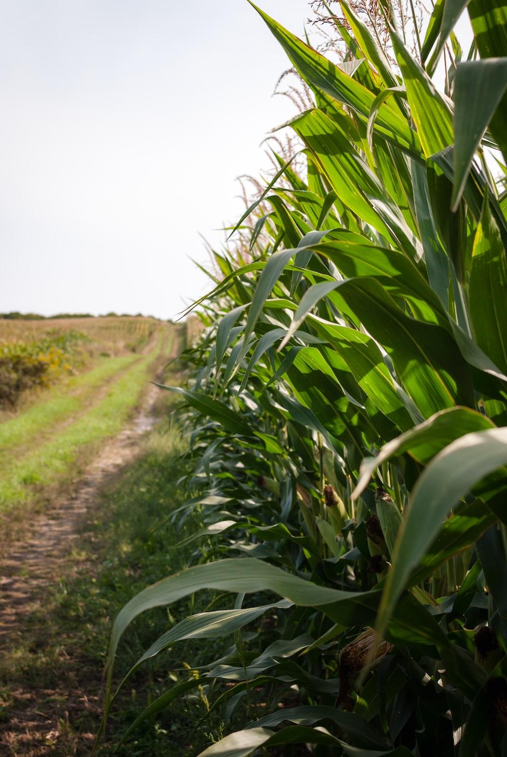 green corn field during daytime