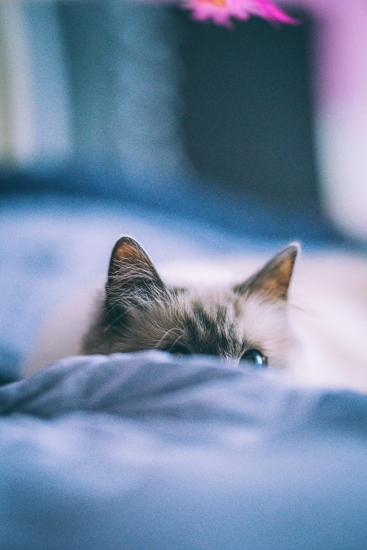 silver tabby kitten lying on blue textile