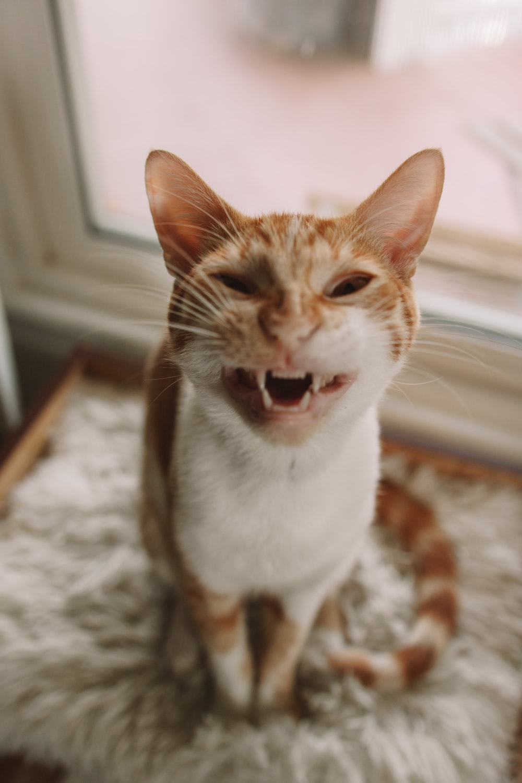 orange and white tabby cat on white textile