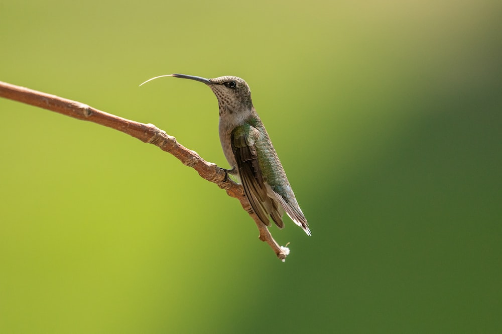 green and black humming bird on brown branch