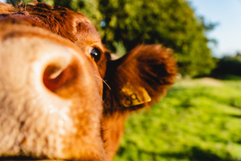 brown cow showing tongue during daytime