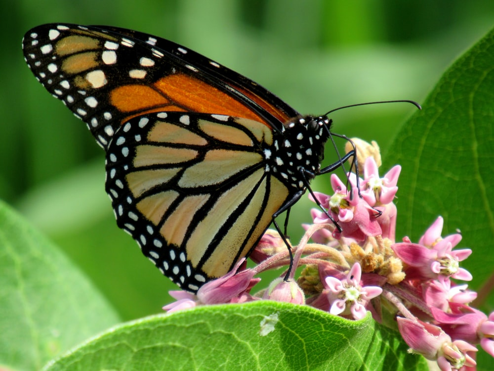 monarch butterfly perched on pink flower during daytime