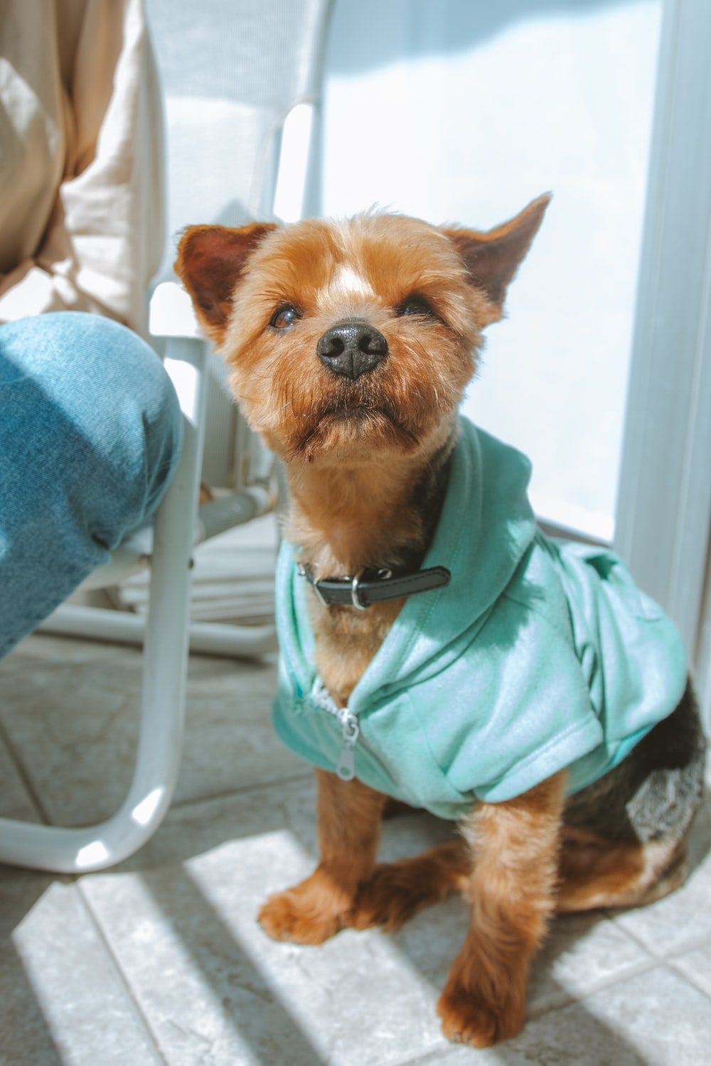 brown long coated small dog in teal shirt