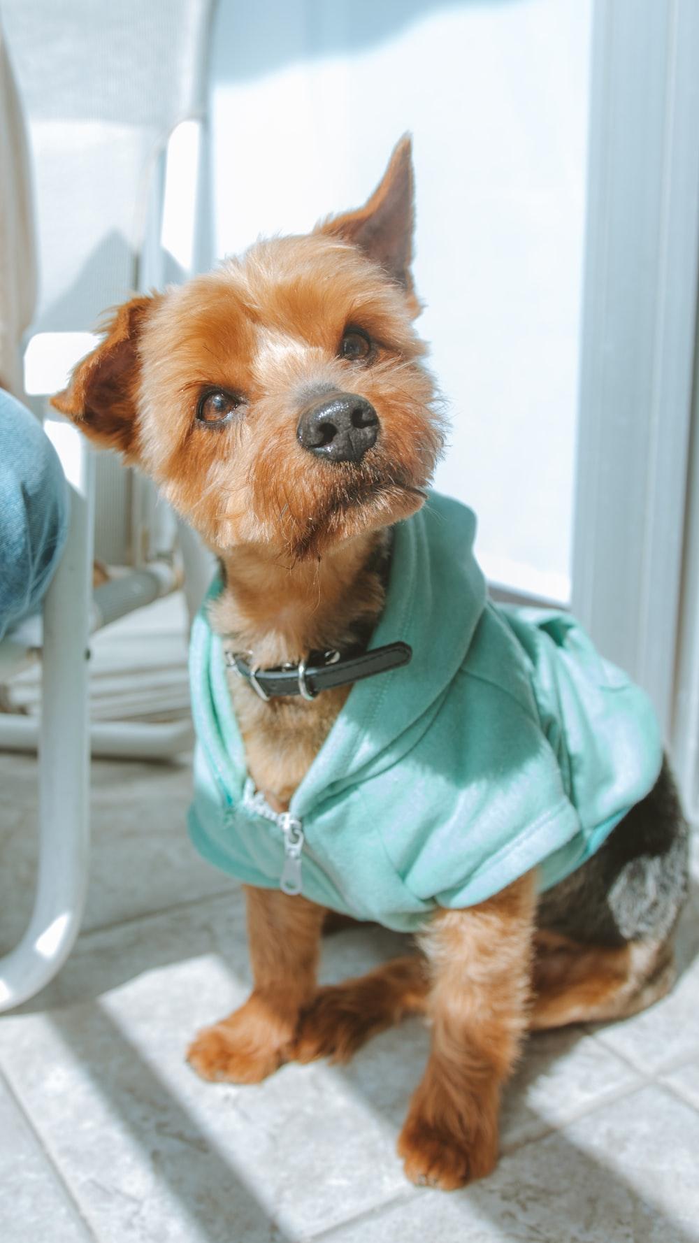 brown long coated small dog in teal hoodie