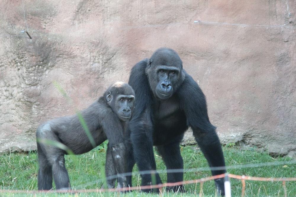 black gorilla sitting on green grass during daytime