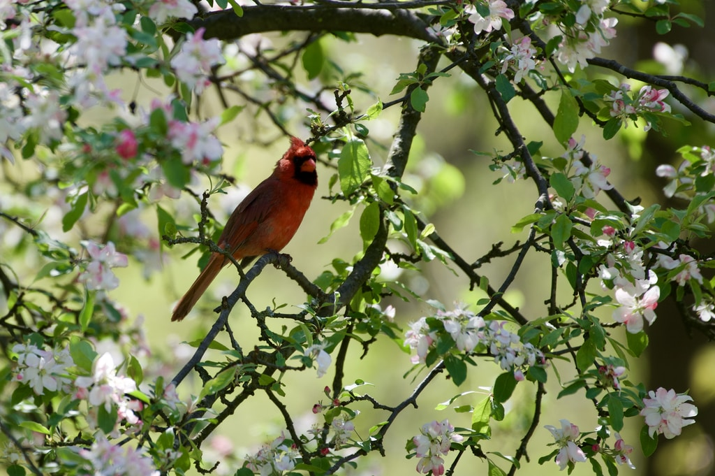red cardinal perched on tree branch during daytime