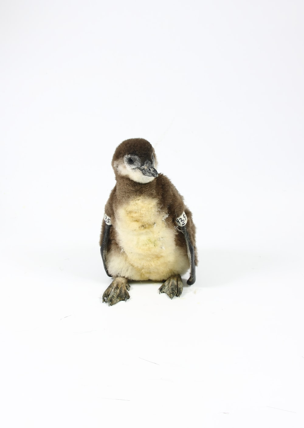 brown and white penguin on white background