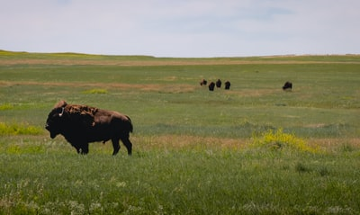 brown cow on green grass field during daytime south dakota teams background
