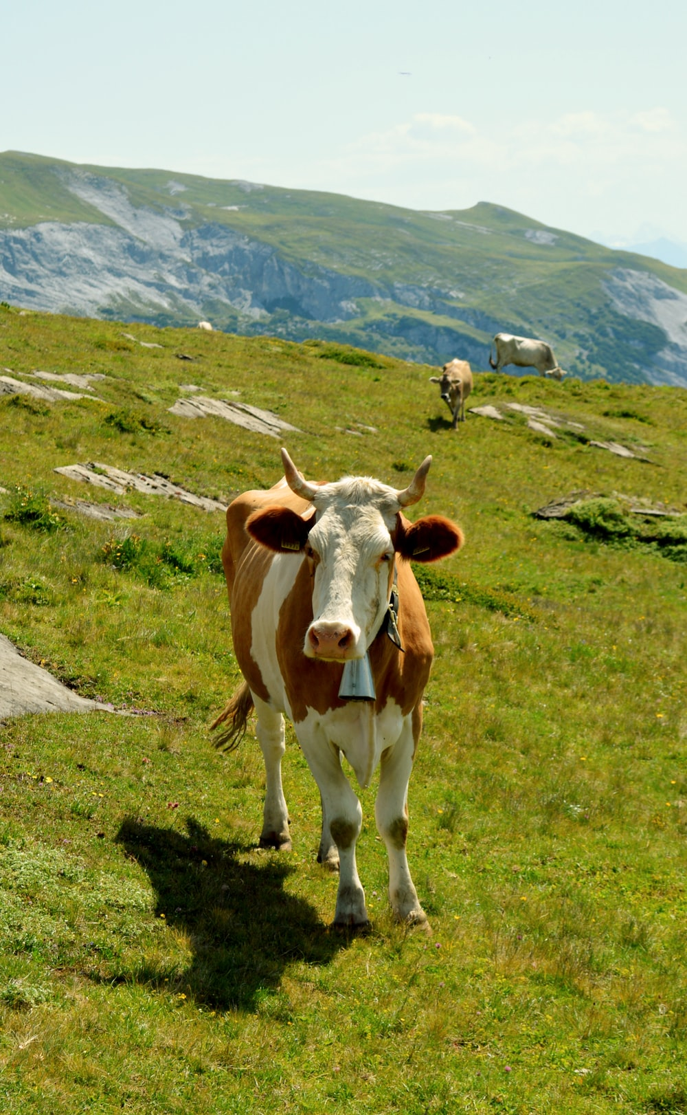 brown and white cow on green grass field during daytime