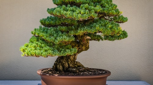 5 Steps to grow Bonsai Tree- For Beginners