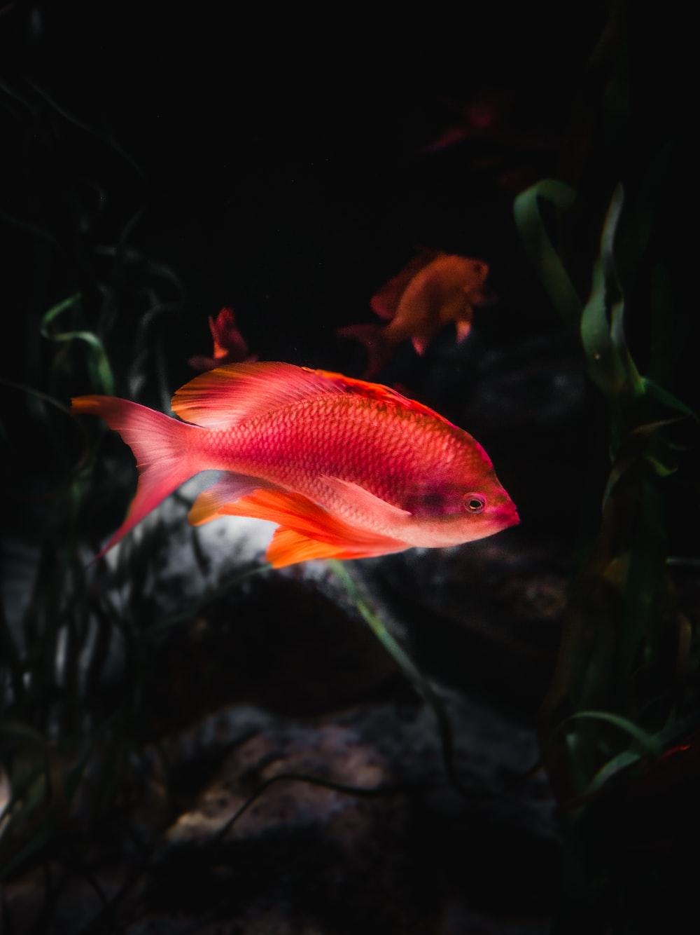 orange and white fish in fish tank