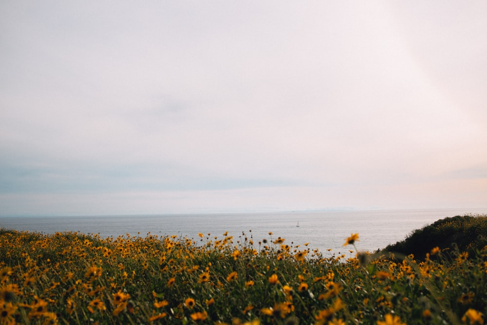 yellow flower field near sea during daytime