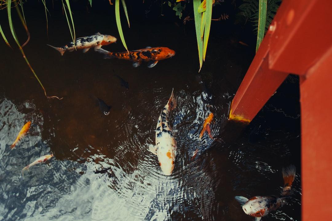 Percaya Atau Tidak, Memelihara Ikan Koi Bisa Membawa Hoki Loh