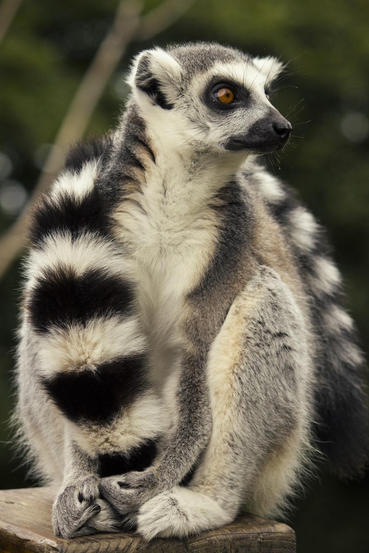 white and black zebra animal