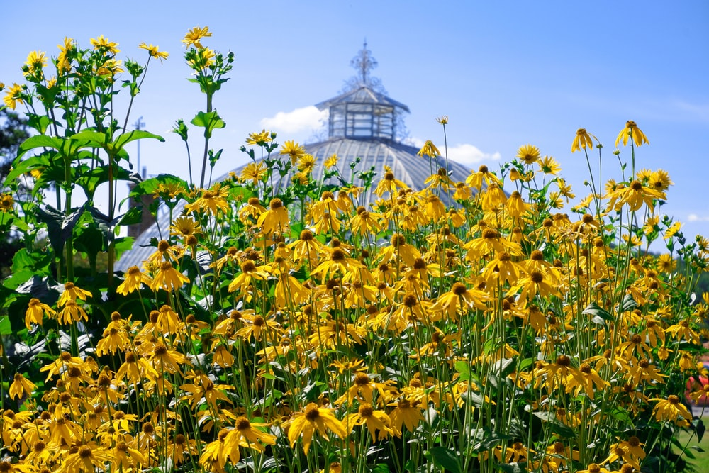 yellow flower field near white concrete building under blue sky during daytime