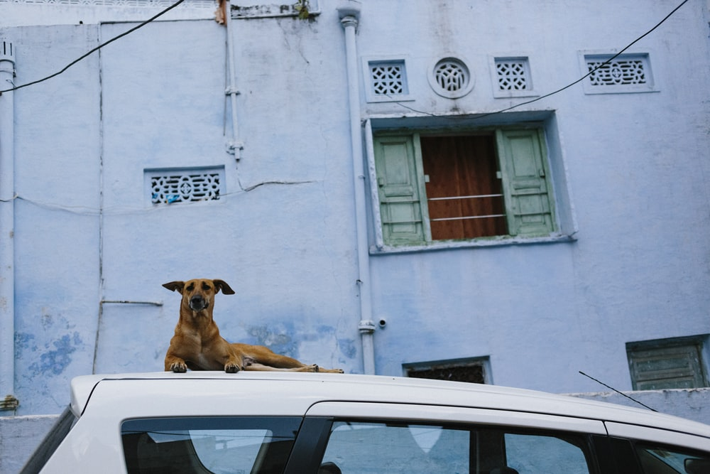 brown short coated dog on white car