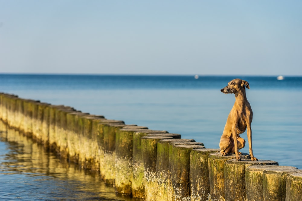 brown short coat large dog sitting on concrete wall near body of water during daytime