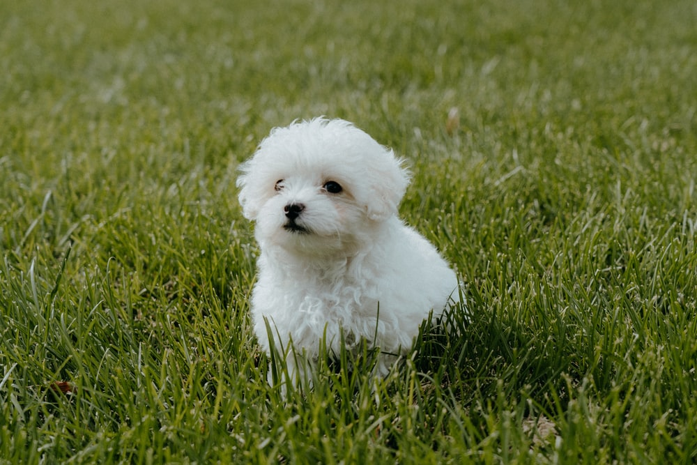 white long coat small dog on green grass field during daytime