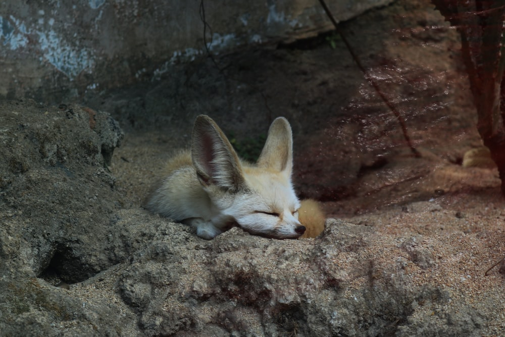 brown fox lying on brown rock during daytime