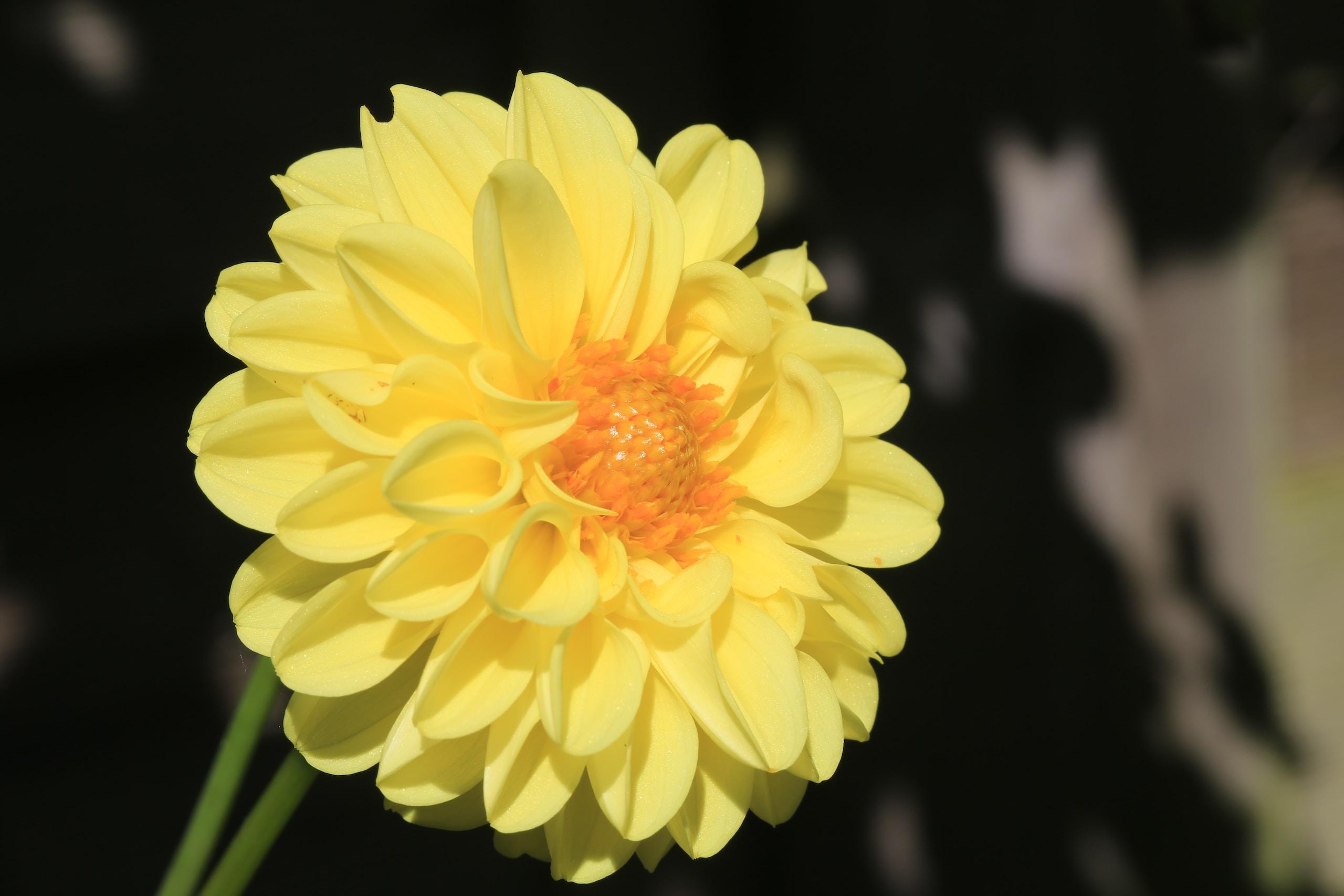 yellow flower in black background