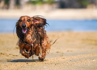 brown long coat small dog on brown sand during daytime