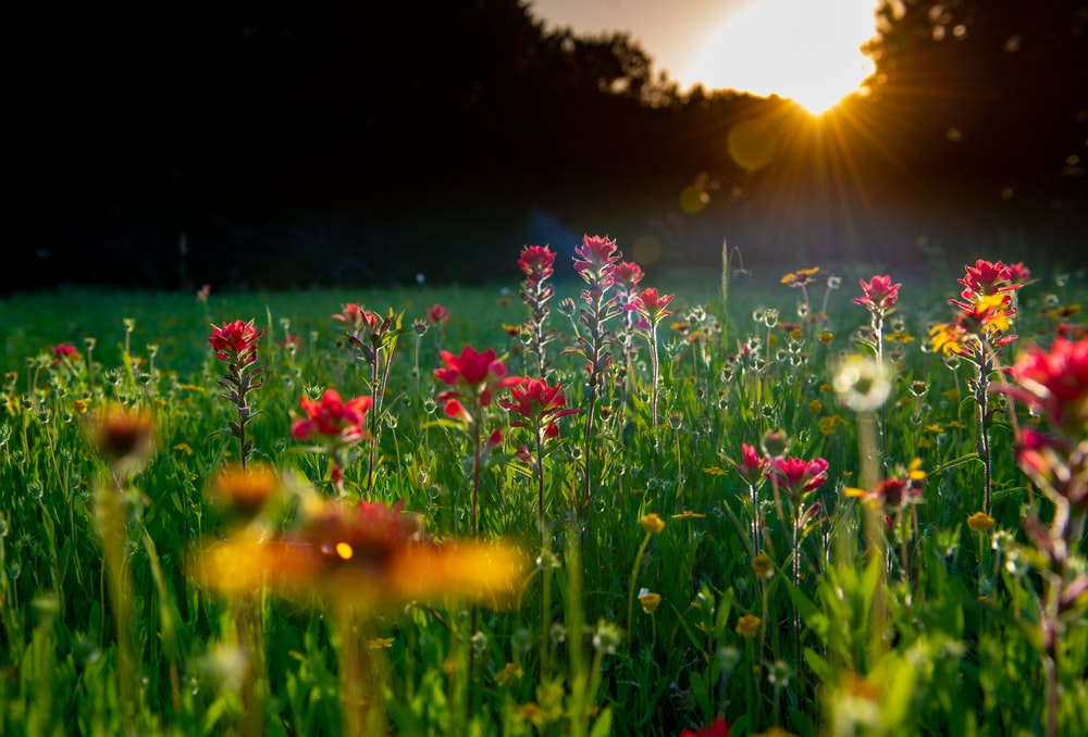 pink flowers on green grass field during sunset