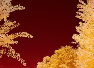yellow and brown trees under red sky