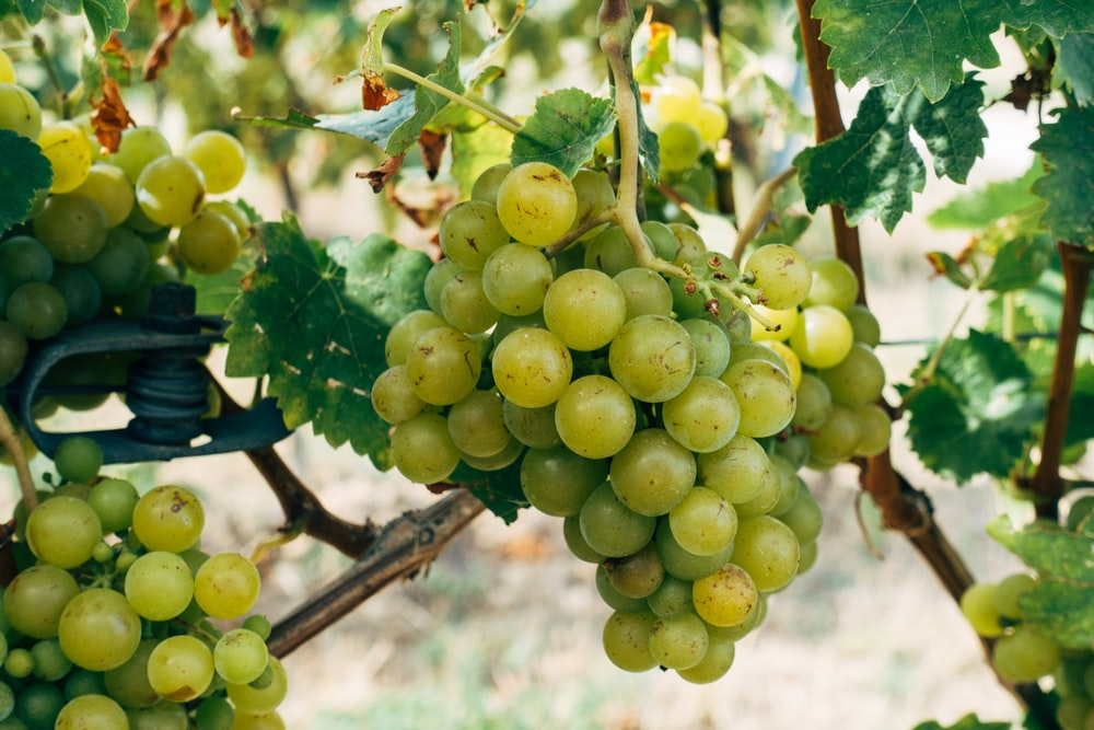 green grapes on brown tree branch during daytime