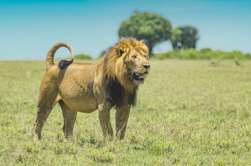 lion walking on green grass field during daytime