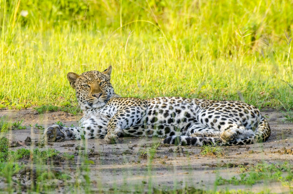 black and white leopard walking on green grass field during daytime
