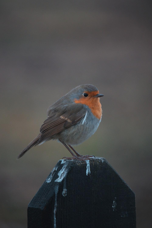 gray and orange bird on black wooden fence