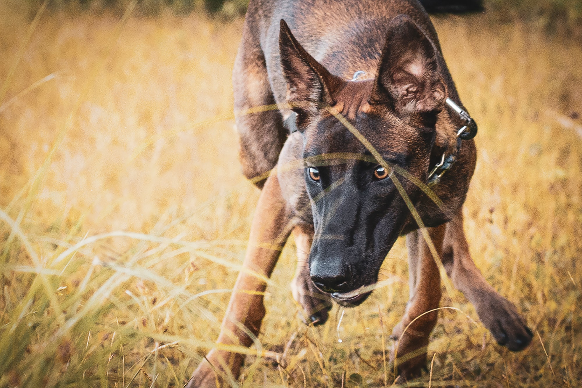 Belgian malinois playing in a field.