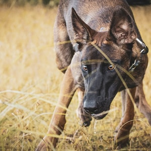 brown and black short coated dog on brown grass field during daytime