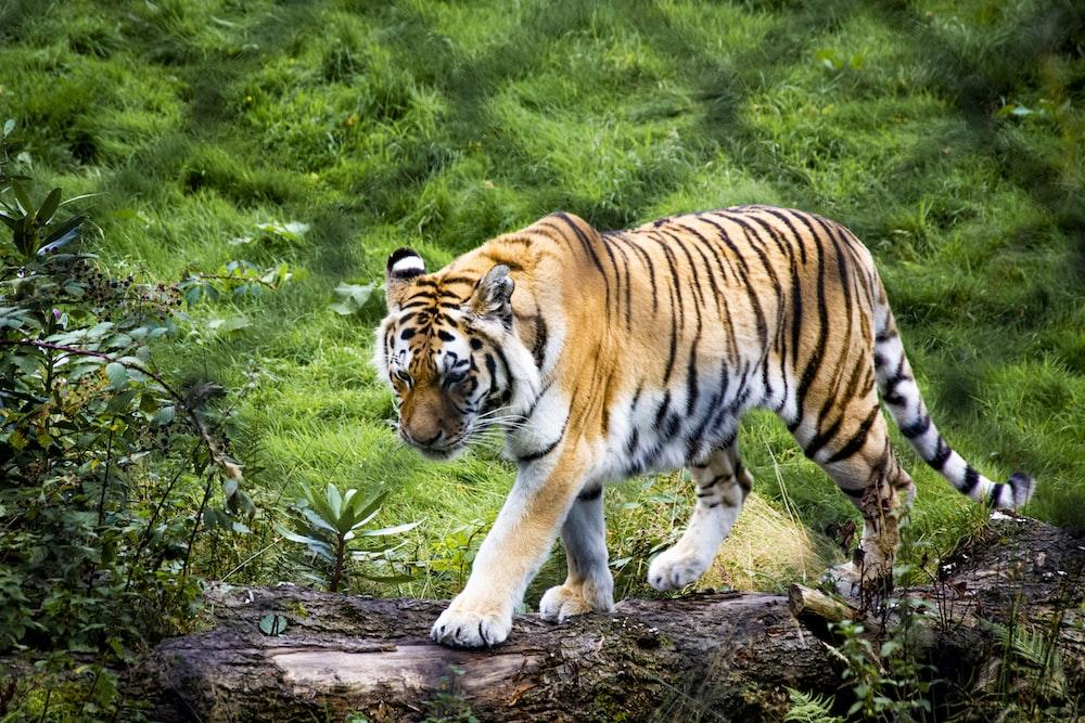 tiger walking on green grass during daytime