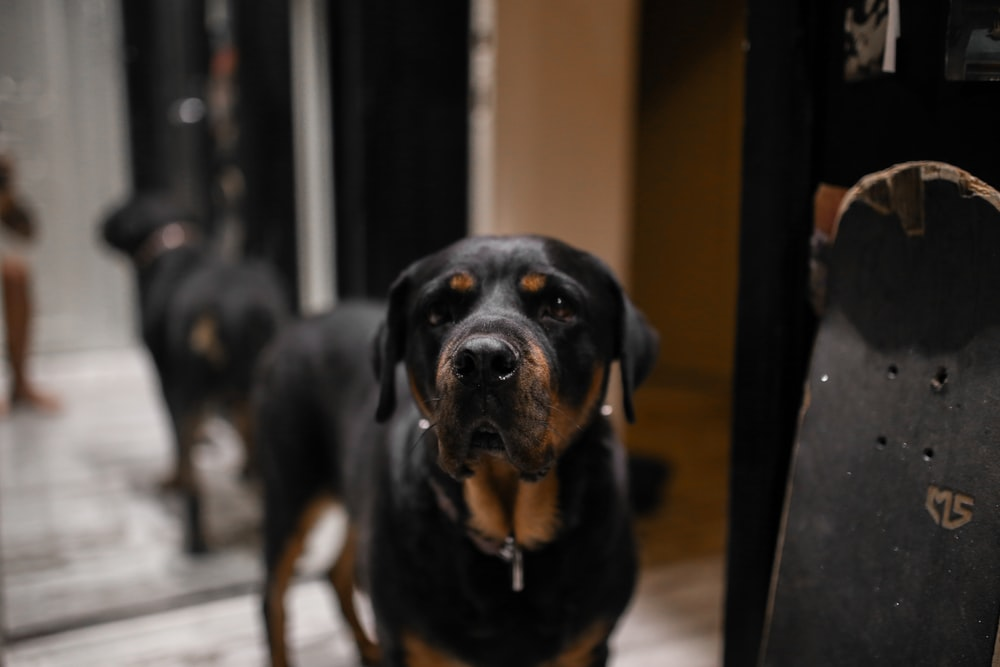 black and tan short coat medium dog