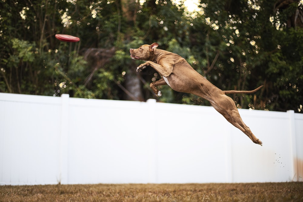 brown short coated dog jumping on white fence during daytime