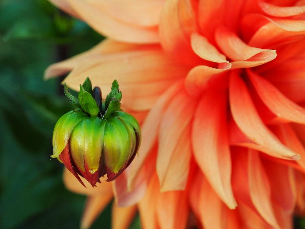 orange and green flower in macro shot
