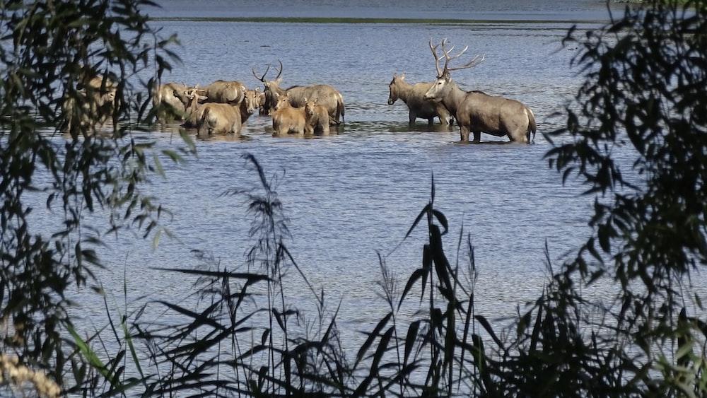herd of deer on water