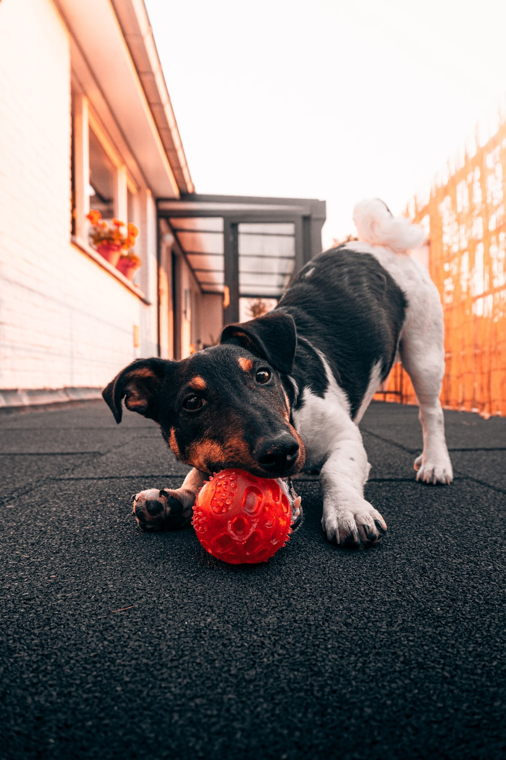 black and white short coated dog playing red ball on black carpet