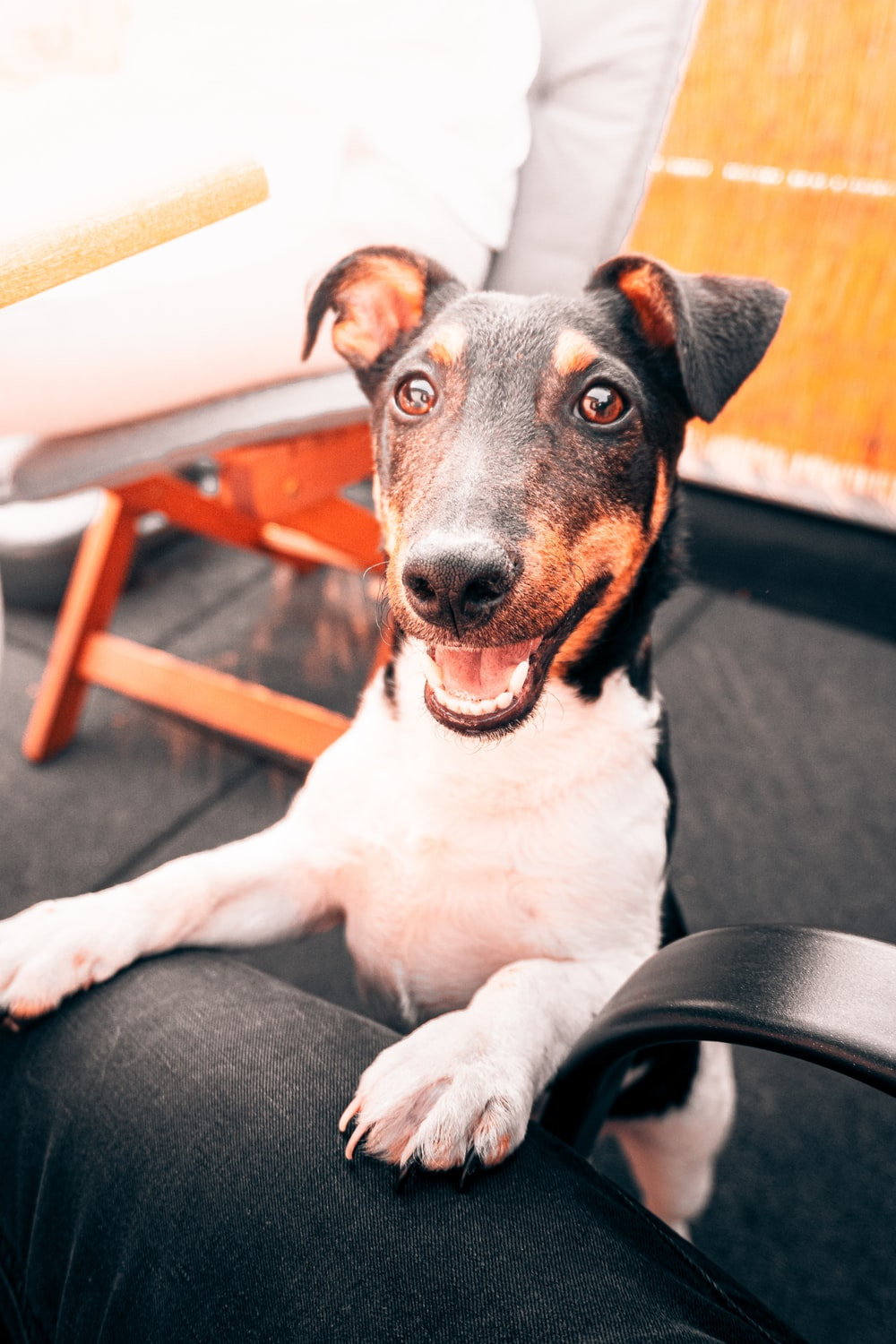 black white and brown short coated dog lying on black leather armchair