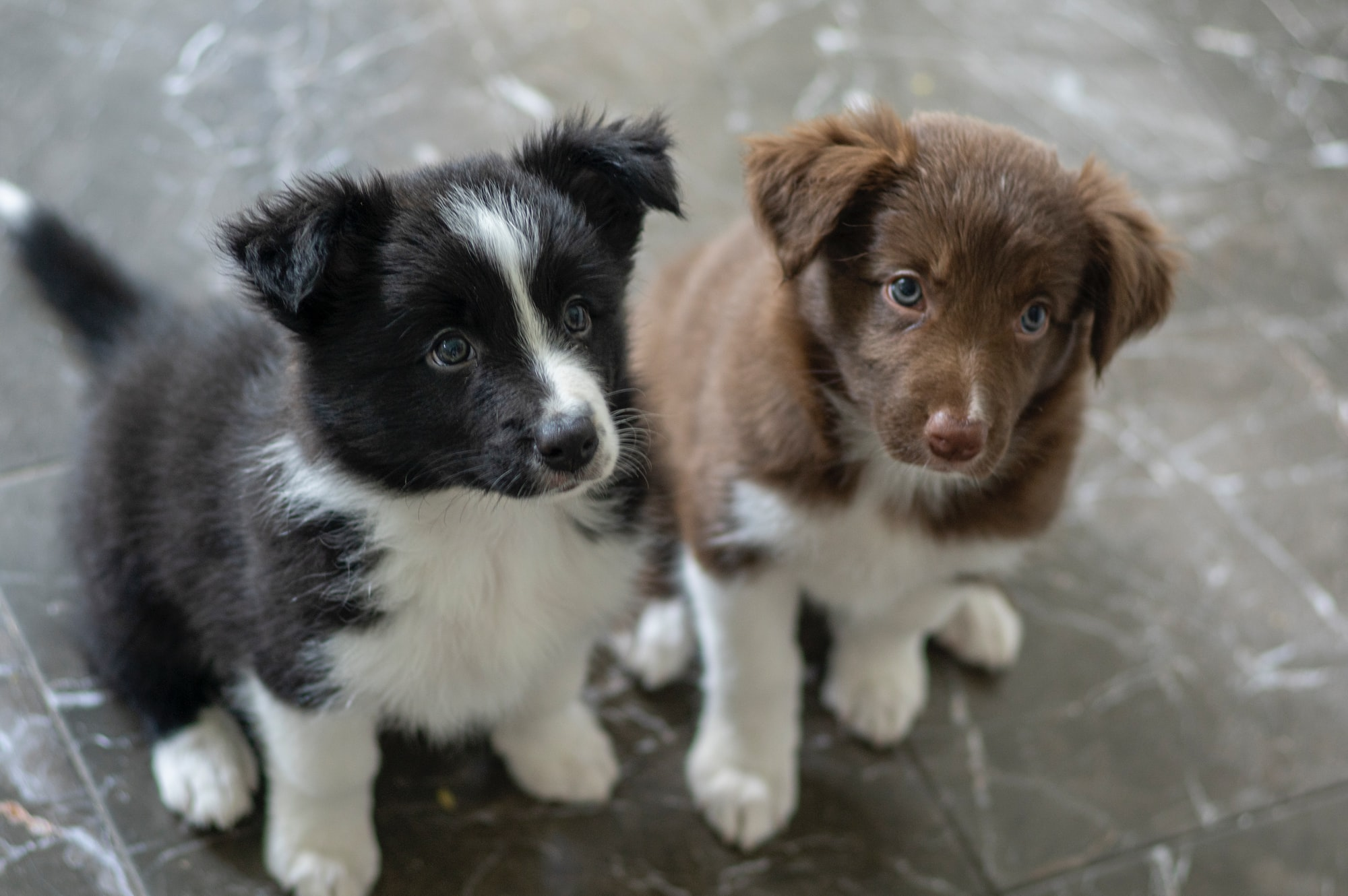 puppies, border collie puppies, national puppy day