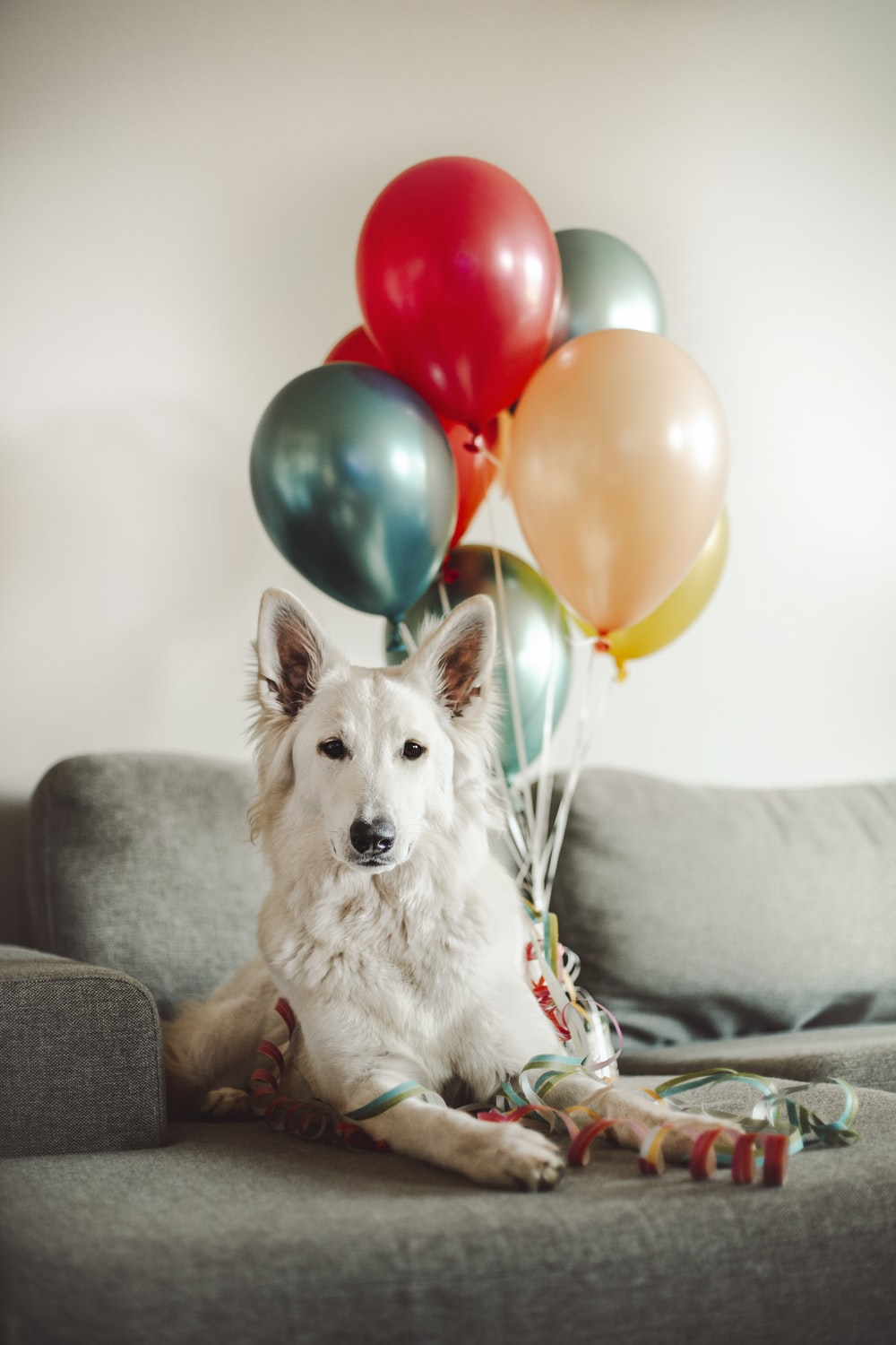 white long coated dog on gray couch