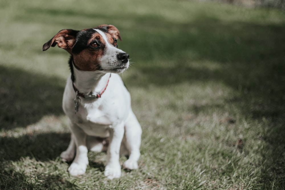 white and brown jack russell terrier puppy sitting on green grass field during daytime